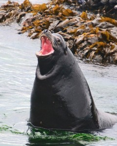 Sea lion with a plastic ring on his neck.