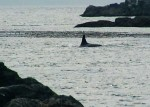 One of our Orca visitors that week filmed by Ben.