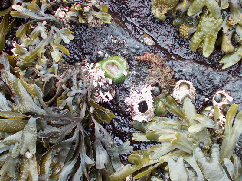 Here an intertidal anemone takes advantage of the shade and moisture retention of the Fucus fronds