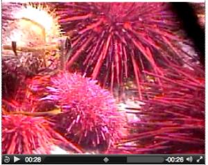 sea-urchin-video