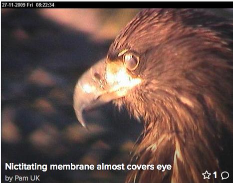 pb-eagle-nictitate