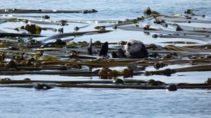 Sea Otter in race ROcks Kelp Beds, photo by Adam Bird