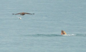 Eagle and Gull checking out a Steller's octopus lunch