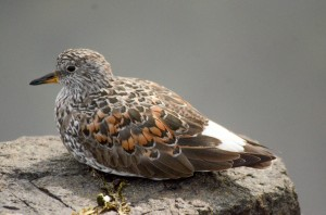 Surfbird (Aphriza Virgata) in breeding plummage