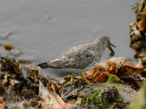 These birds usually eat invertebrates so this picture of one eating Sea Lettuce (ulva lactuca) a bit unusual.
