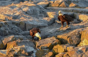 Bald Eagles Stealing Gull Eggs