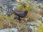 Oyster catcher with 3 chicks