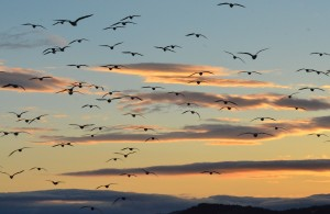 Sunset Flock of Glaucous-winged Gulls