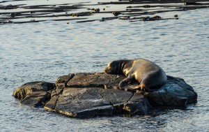 Sea lion near the jetty during sunset