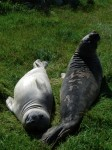 Two young elephant seals, probably second year. Note new coat on the left and still shedding on the right.