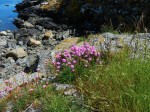 Armeria maritima, sea thrift is in full bloom and looks very striking at this time of year.