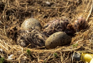 Glaucous-winged gull chicks, newly hatched