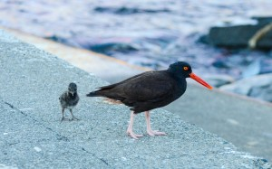 Parent oystercatcher with chick