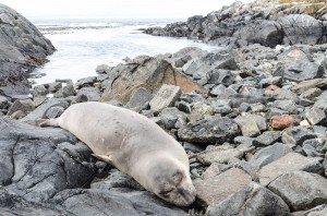 Female seal, August 15