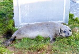 Juvenile female elephant seal