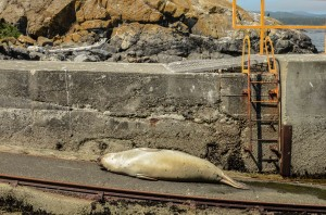 Female elephant seal on the jetty