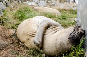 Elephant seal snoozing