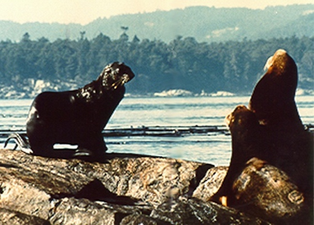 Alaskan Fur Seal Callorhinus ursinus .This picture was taken in 1980 by Trev and Flo Anderson.