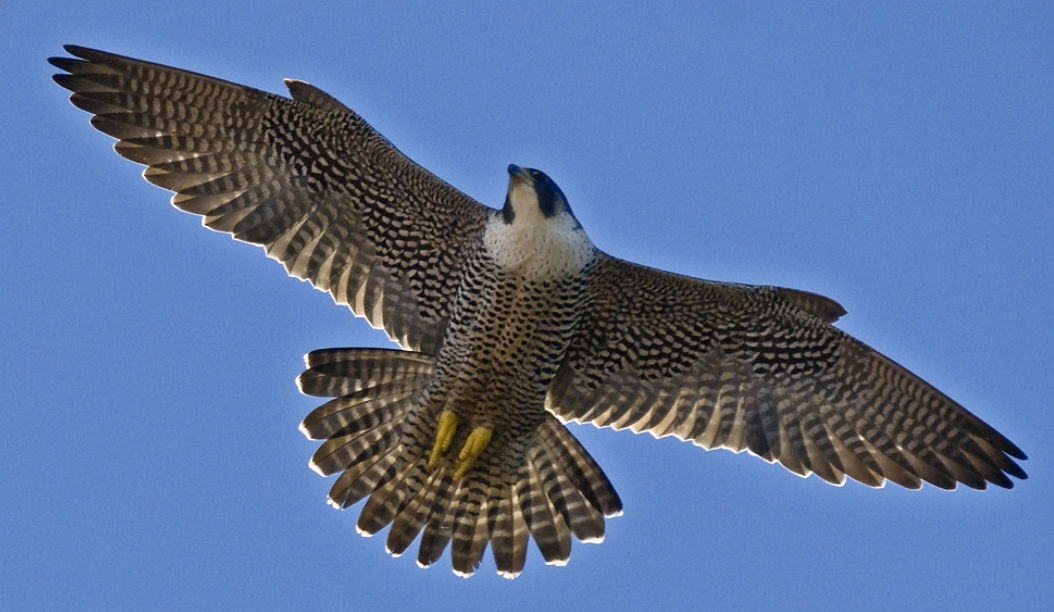 Peregrine Falcon.. Seen yearly in the winter time: