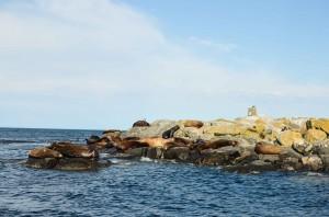 Stellar and California sea lions