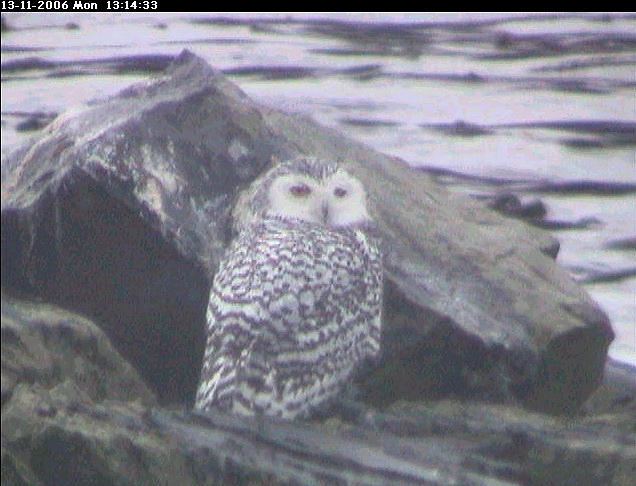 Snowy owl recorded several times at Race Rocks