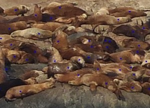 Sea lions on middle rocks counted by uploading a photograph into ImageJ