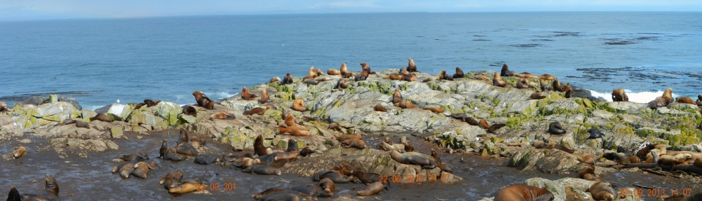 The east shore of Race Rocks with California and Northern Sea lions.