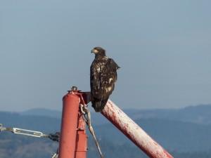 Breakfast eagle