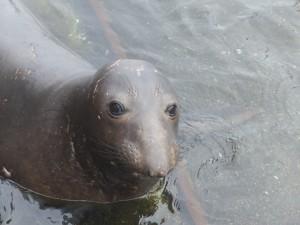 Juvenile male elephant seal