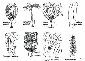 brownalgae