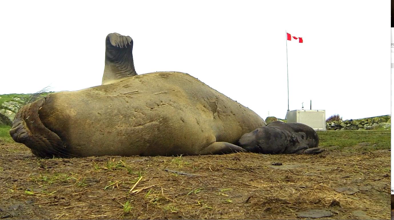 Female elephant seal and pup born at Race Rocks , January 14, 2014