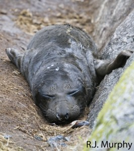 First baby Elephant seal