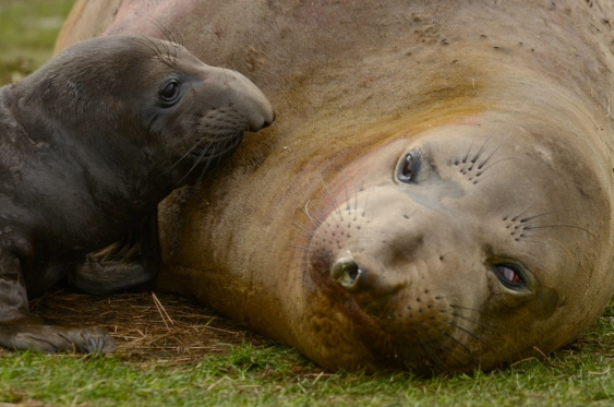 xxxelephant-seal-4-jpg