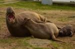 Feb 1 elephant seals