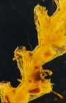 Symplectoscyphus turgidus