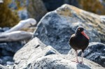 Black Oystercatcher near the jetty