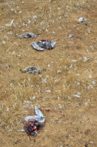 Dead gulls. Seems to be a high number this year.