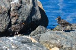 Juvenile Black Oystercatcher on the north side of the main island