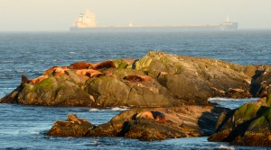 Seals and Sea LIons in the foreground, ship in the background.