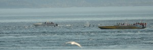 Endangered Southern Resident Killer Whales being jockeyed for position by a dozen whale watching boats.