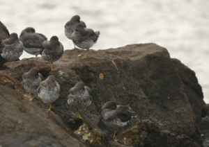Surfbirds arrived today and rested.