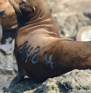 This what I am looking for when photographing branded animals. This  California Sea Lion was branded in the Channel Islands just northwest of Los Angeles.