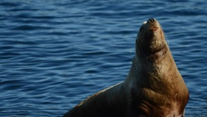 A Steller's Sea Lion ring-necked with heavy fishing line.