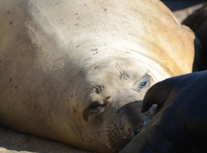 This Elephant Seal is napping with California Sea Lions on the marine railway.
