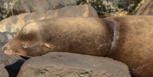 This entangled California Sea Lion has been spotted repeatedly since the end of August.