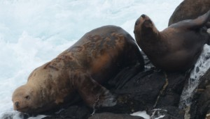 This branded Stellers Sealion was born on Marmot Island just off Kodiak Island, Alaska. He was branded as a pup, July 4, 2010.