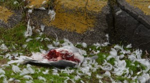 Gull killed by Peregrine Falcon and eaten by ravens. Spooky Halloween stuff.