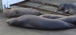 Flake, (top left) and other Northern Elephant Seals have taken over the entrance to the boat shed and jetty.