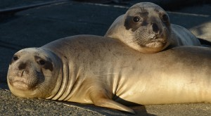 Northern Elephant Seals are the champion divers of the Pinniped world. We have a lot to learn from them when it comes to navigation, diving and fasting. Fascinating animals.