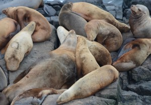 Sealions lounging